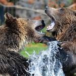 世界や日本各地で起きたグリズリー事件!クマはなぜ人を襲う?