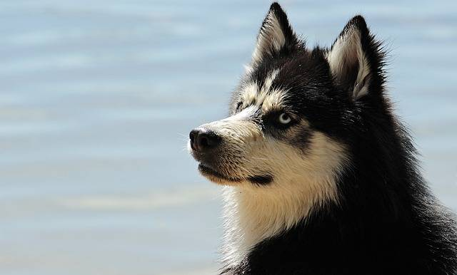 Husky Dog Breed · Free photo on Pixabay (21256)