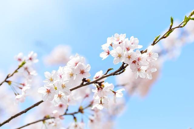 Spring Plant Cherry Blossoms · Free photo on Pixabay (63453)