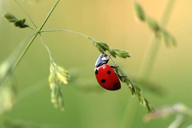 Ladybug Beetle Coccinellidae · Free photo on Pixabay (65009)