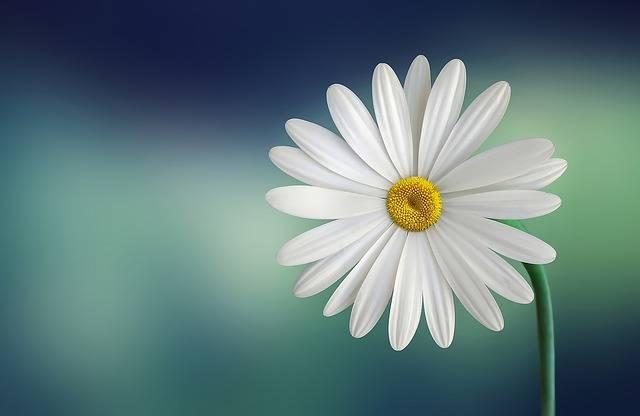 Marguerite Daisy Flower · Free photo on Pixabay (72717)