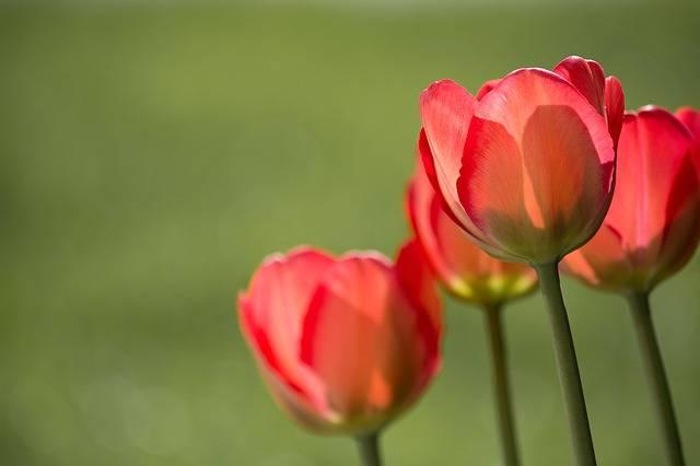 Tulips Red · Free photo on Pixabay (73664)