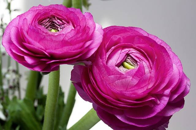 Ranunculus Blossom Bloom - Free photo on Pixabay (87147)