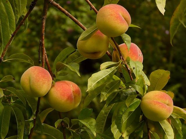Peaches Peach Tree Malum Persicum - Free photo on Pixabay (110829)