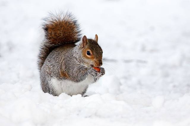 Squirrel Rodent Animal - Free photo on Pixabay (122430)