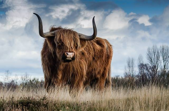 Bull Landscape Nature - Free photo on Pixabay (125926)