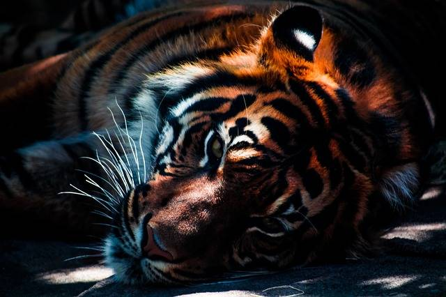 Tiger Wildlife Animal - Free photo on Pixabay (125929)