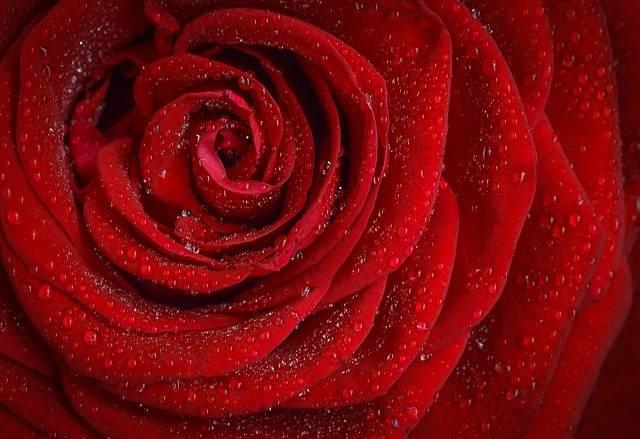 Rose Red Flower - Free photo on Pixabay (140298)