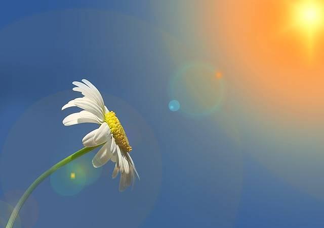 Marguerite Leucanthemum Composites - Free image on Pixabay (142220)