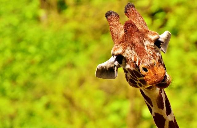 Giraffe Funny Cute - Free photo on Pixabay (148685)