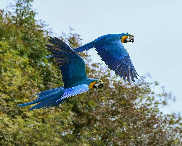 Parrot Fly Blue Macaw - Free photo on Pixabay (148841)