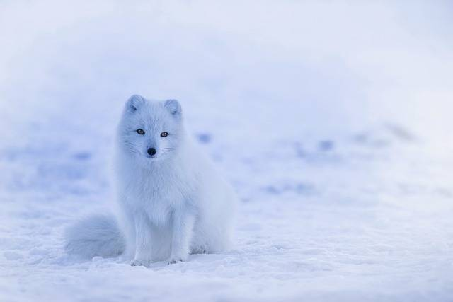 Iceland Arctic Fox - Free photo on Pixabay (151927)