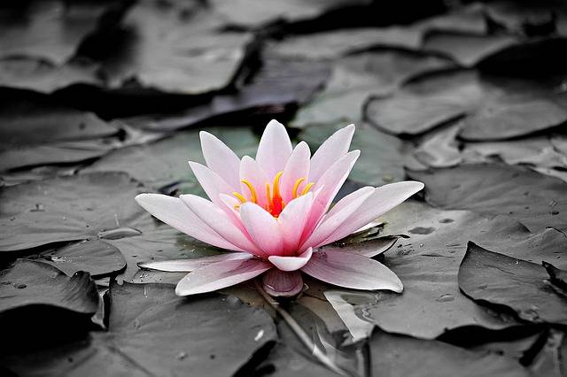 Water Lily Pink Aquatic Plant - Free photo on Pixabay (160233)