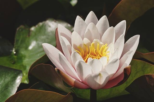 Water Lily White Pond - Free photo on Pixabay (160804)