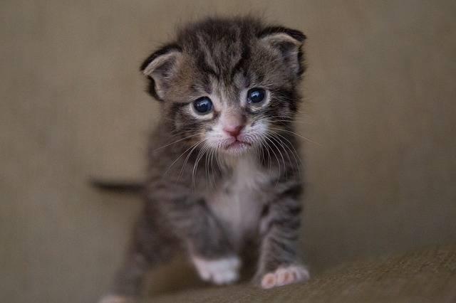 Kitten Cat Baby - Free photo on Pixabay (161451)