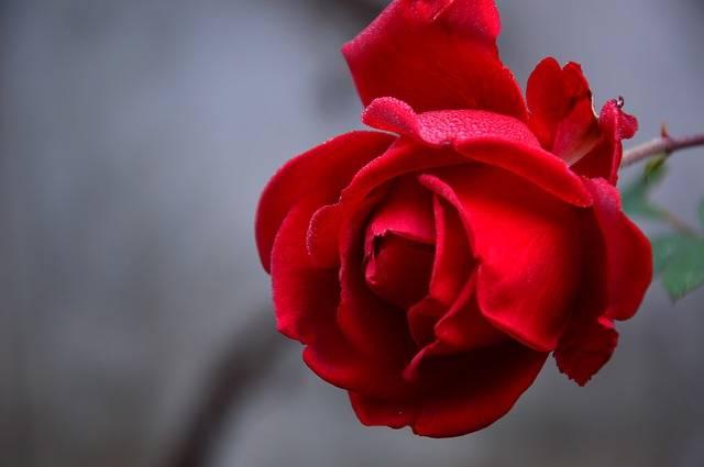 Rose Blossom Bloom - Free photo on Pixabay (161932)