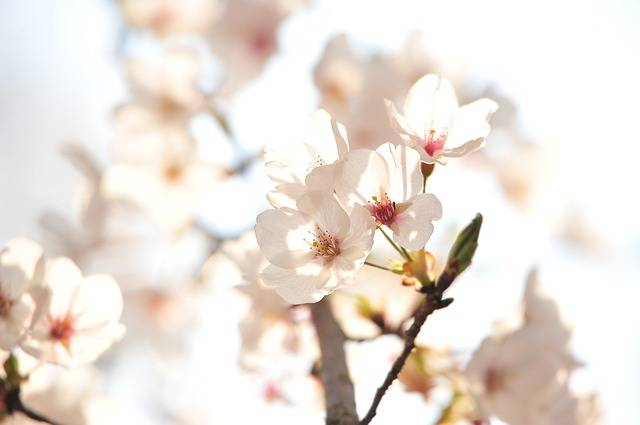 Japan Cherry Blossoms The Sunset - Free photo on Pixabay (165238)