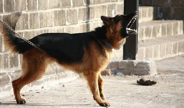 German Shepherd Dog Barking - Free photo on Pixabay (165891)