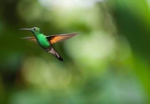Hummingbird Bird Trochilidae - Free photo on Pixabay (178440)