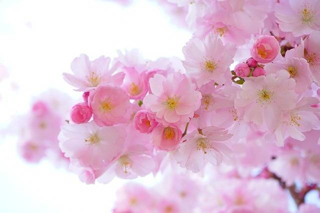 Japanese Cherry Trees Flowers - Free photo on Pixabay (185853)