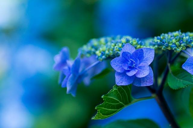 Hydrangea Blue Petals Plant - Free photo on Pixabay (185900)
