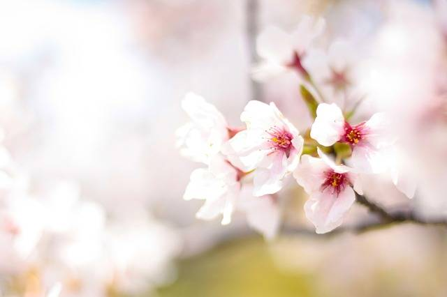 Spring Cherry Blossoms Pink - Free photo on Pixabay (190267)