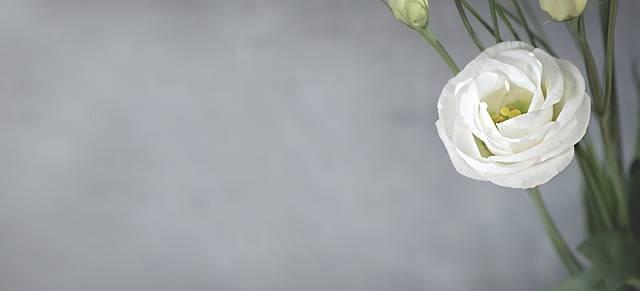 Lisianthus Flower Blossom - Free photo on Pixabay (197441)