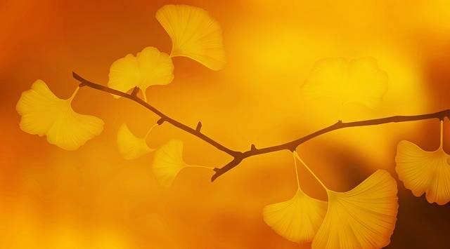 Ginkgo Tree Branch - Free photo on Pixabay (200850)