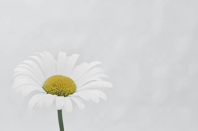 Marguerite Flower Macro Beautiful - Free photo on Pixabay (201979)