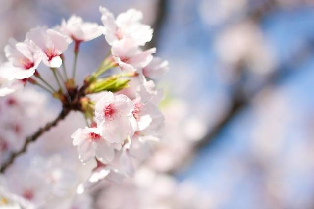 Spring Cherry Blossoms Pink - Free photo on Pixabay (202128)