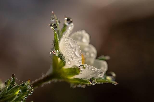 Raindrop Dewdrop Strawberry Flower - Free photo on Pixabay (212223)