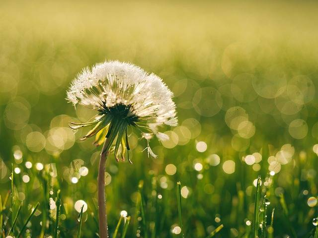 Bloom Blossom Dandelion - Free photo on Pixabay (215515)