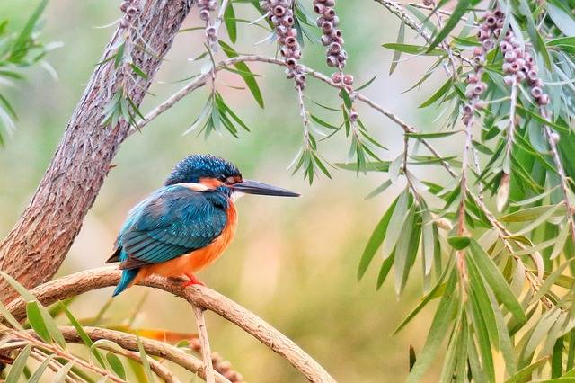 Kingfisher Natural Bird - Free photo on Pixabay (220449)