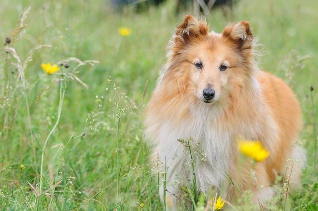 Sheltie Dog Animal Shetland - Free photo on Pixabay (225960)