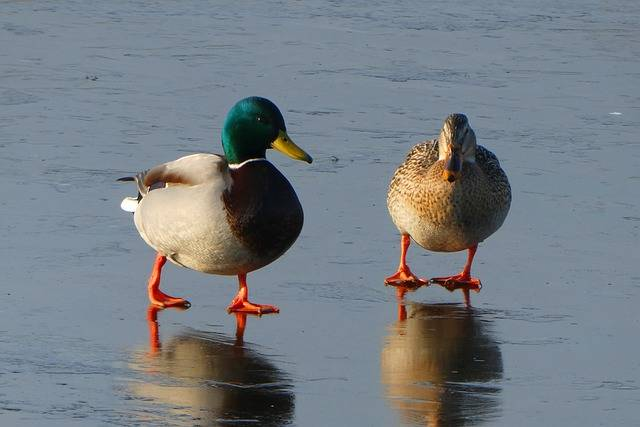 Ducks Pair Male And Female - Free photo on Pixabay (226700)