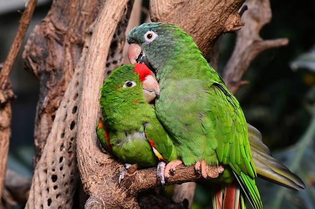 Parrot Parrots Green - Free photo on Pixabay (242928)
