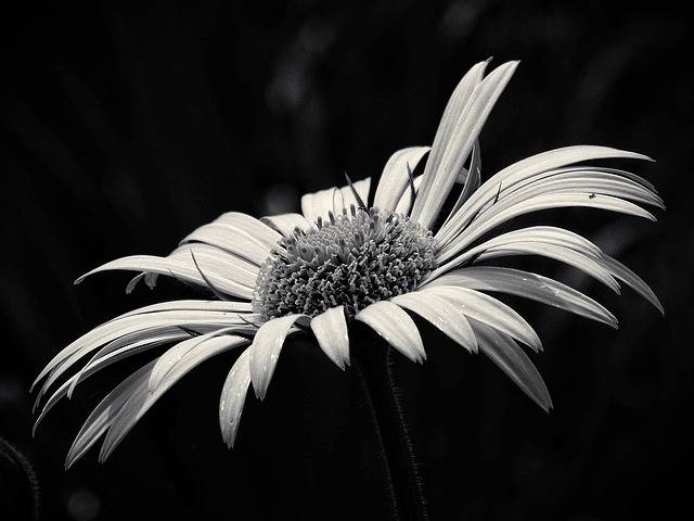 Beauty Yellow Flower Black And - Free photo on Pixabay (252621)
