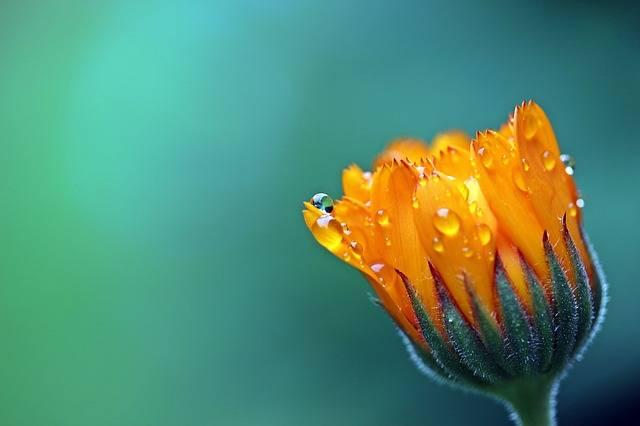 Marigold Calendula Orange - Free photo on Pixabay (255020)