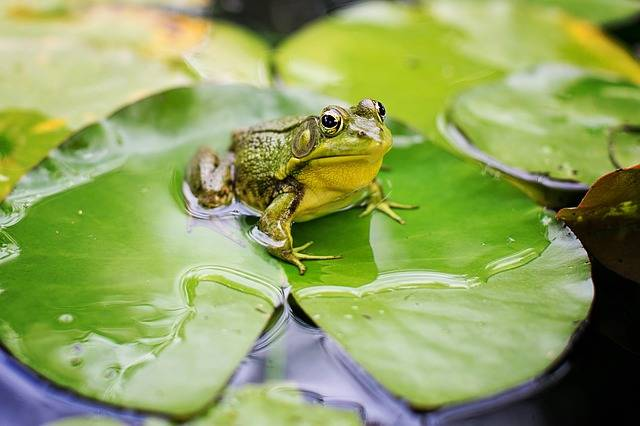 Bull Frog Green Pond Lily - Free photo on Pixabay (267621)