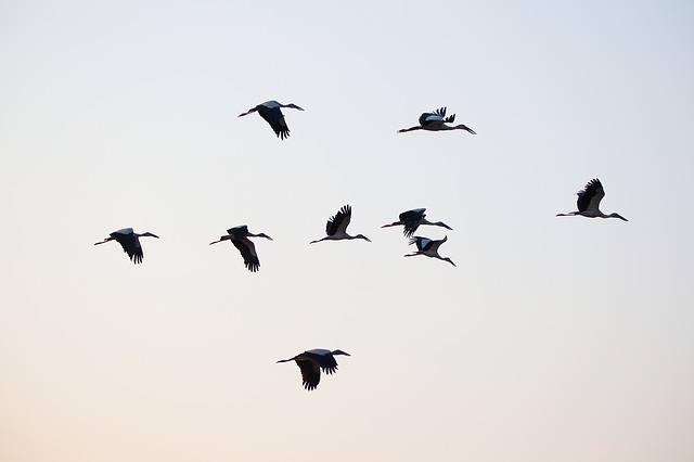 Birds Asian Openbill Vole - Free photo on Pixabay (283319)