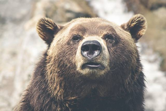 Brown Bear Grizzly Canada - Free photo on Pixabay (283900)