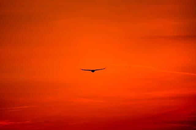 Buzzard King Bird Common - Free photo on Pixabay (305951)