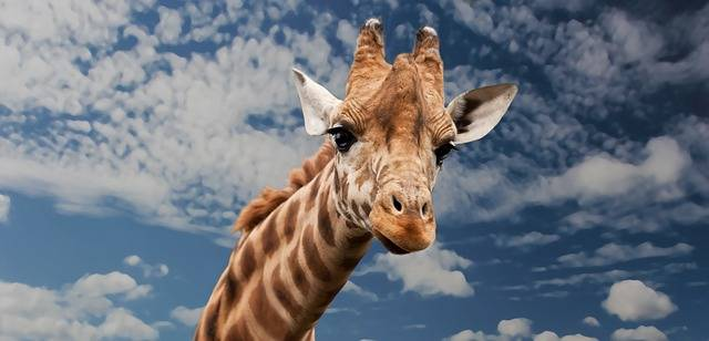 Giraffe Animal Facial Expression - Free photo on Pixabay (306596)