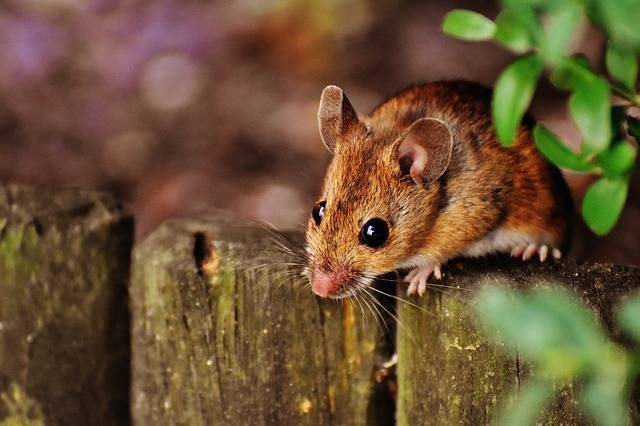 Mouse Rodent Cute - Free photo on Pixabay (315265)