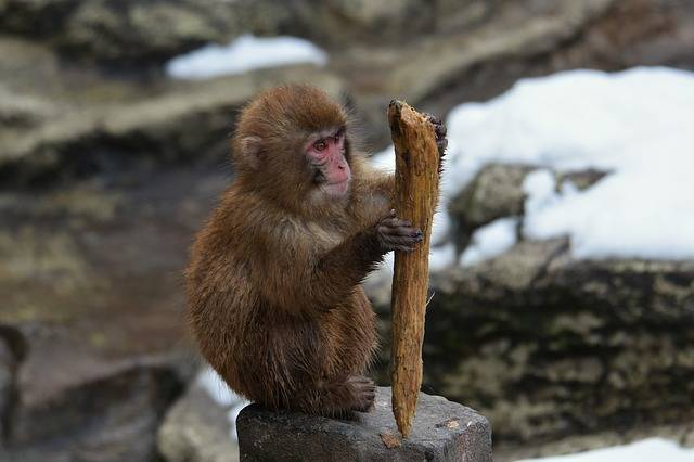 Animal Monkey Baby Japanese - Free photo on Pixabay (318249)