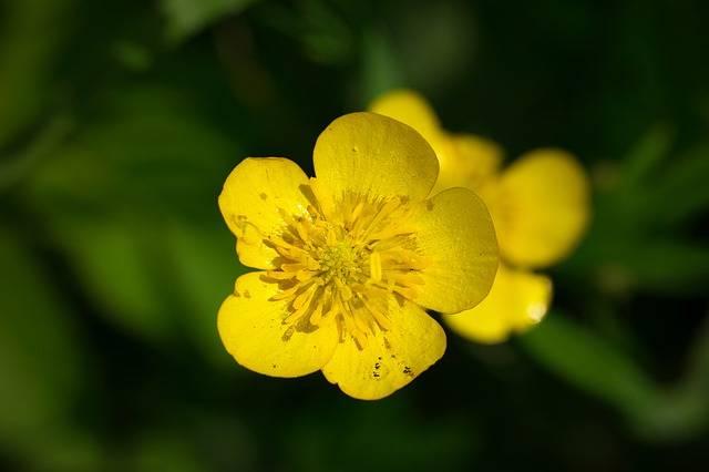 Dotterblume Caltha Palustris - Free photo on Pixabay (318918)