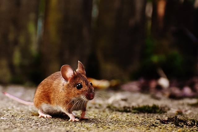 Mouse Rodent Cute - Free photo on Pixabay (329352)