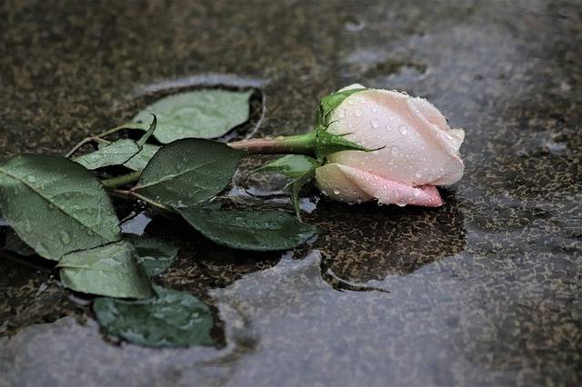 Pink Rose In Rain Grey Marble Love - Free photo on Pixabay (335405)