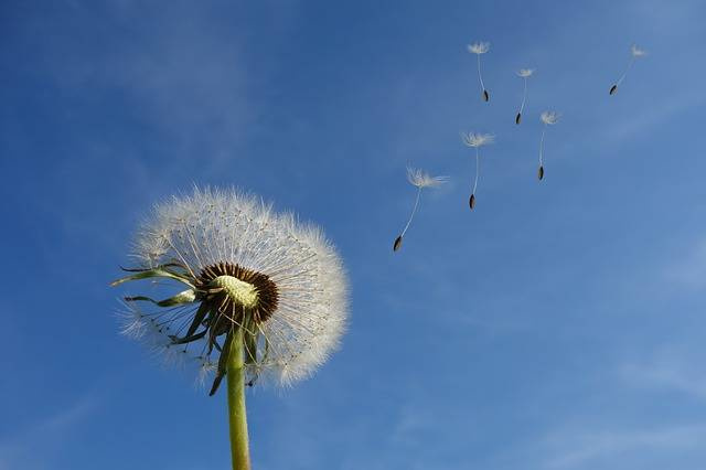 Dandelion Sky Flower - Free photo on Pixabay (335434)