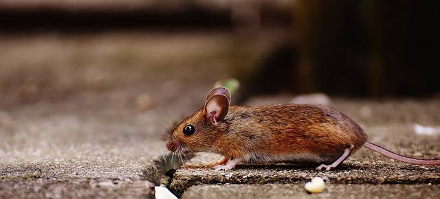 Mouse Rodent Cute - Free photo on Pixabay (339467)